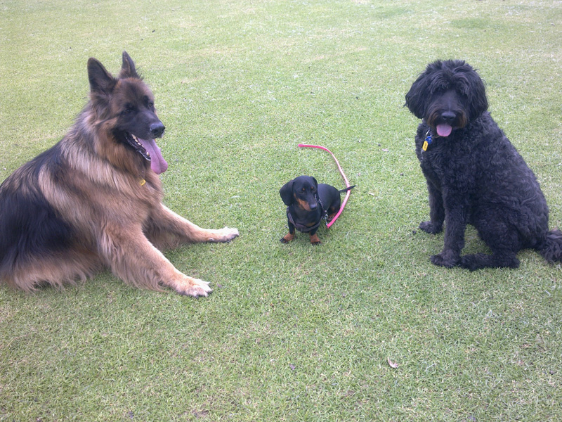 puppy Obedience training Perth